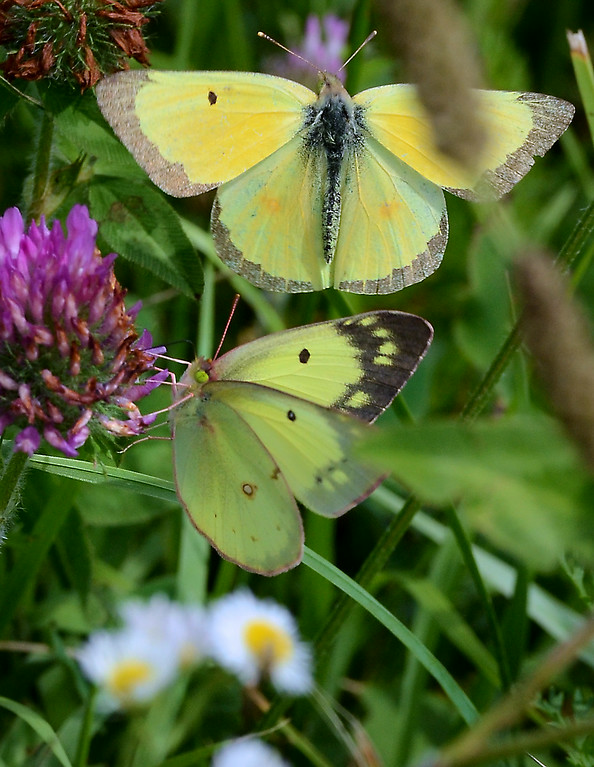 Description of . Orange Sulphur butterflies suckle on wild flowers in Lower Salford Township on a sunny and pleasant Saturday afternoon July 19,2014.Photo by Mark C Psoras/The Reporter