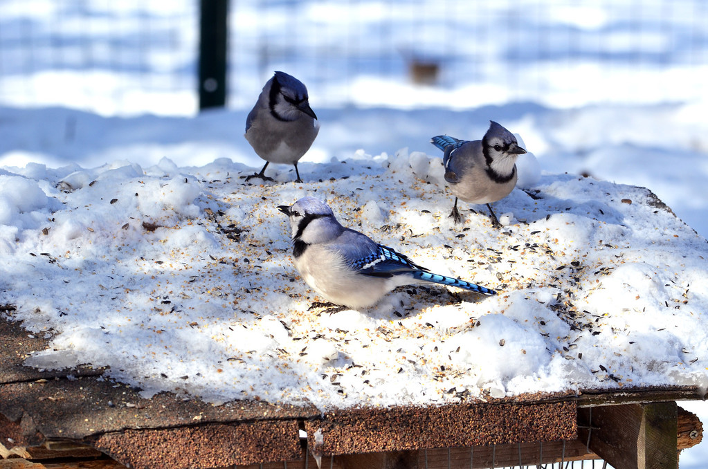 Description of . Blue jays at  a feeder at the bird blind at the Peace Valley Nature Center in New Britain Township.    Wednesday, January 29, 2014.    Photo by Geoff Patton