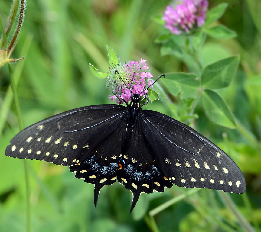 Description of . A Black Swallowtail  suckles on wild flowers in Lower Salford Township on a sunny and pleasant Saturday afternoon July 19,2014.Photo by Mark C Psoras/The Reporter