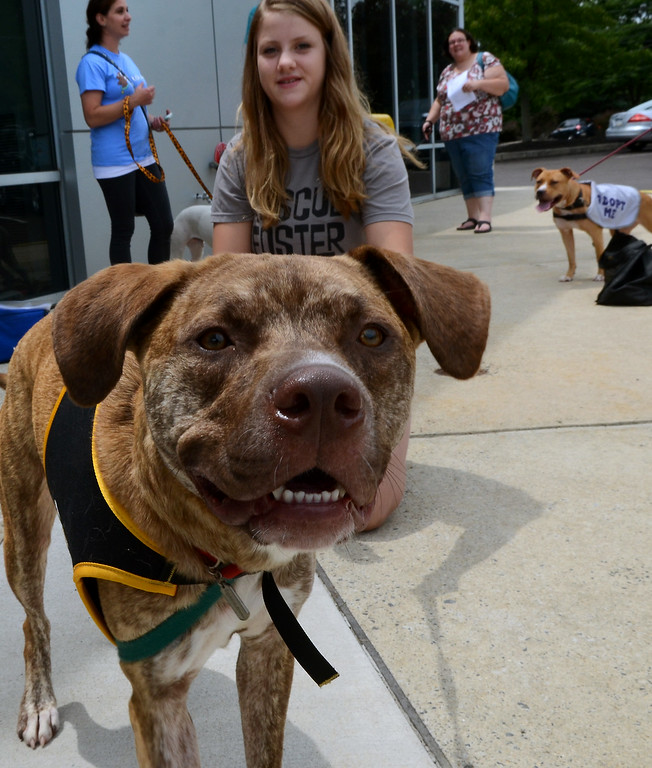 Description of . Boss, a Mastiff-Lab mix rescue dog,gives the camera a sniff during the Dog Town Recue Adoption event at  Bergey's Chevrolet in Colmar on Saturday July 19,2014.Photo by Mark C Psoras/The Reporter