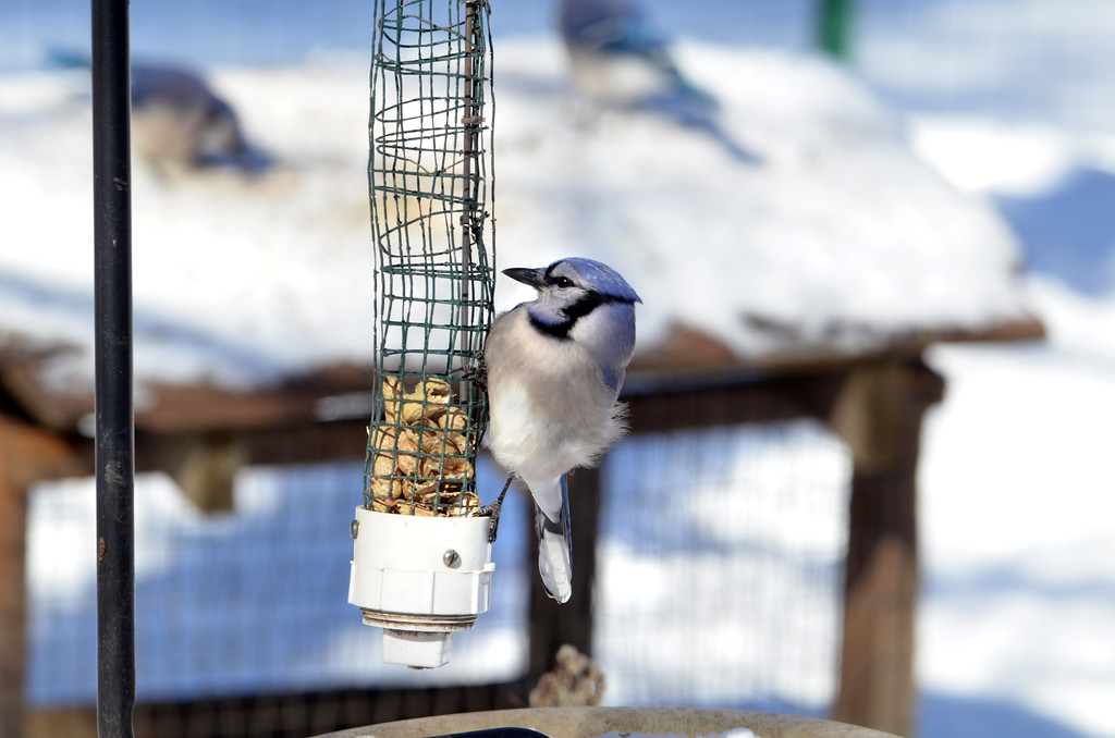 Description of . Blue jays visit the feeders at the bird blind at e Peace Valley Nature Center in New Britain Township.    Wednesday, January 29, 2014.    Photo by Geoff Patton