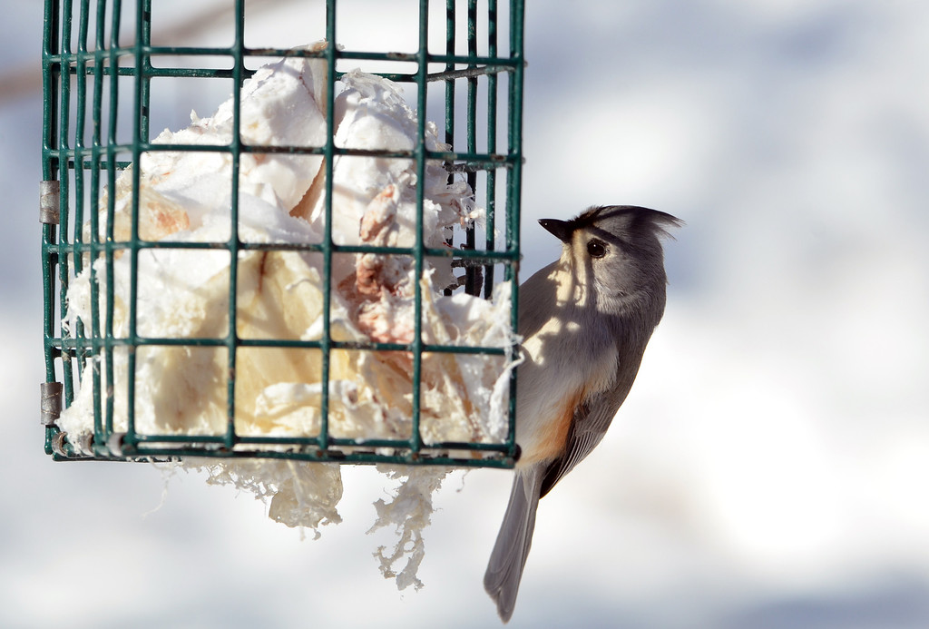 Description of . A tufted titmouse visits a feeder at the bird blind at the Peace Valley Nature Center in New Britain Township.    Wednesday, January 29, 2014.    Photo by Geoff Patton