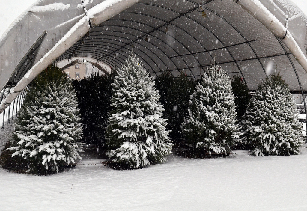 Description of . Christmas trees get a coat of snow at Freddy Hill Farms in Towamencin Tuesday. (The Reporter/Geoff Patton)