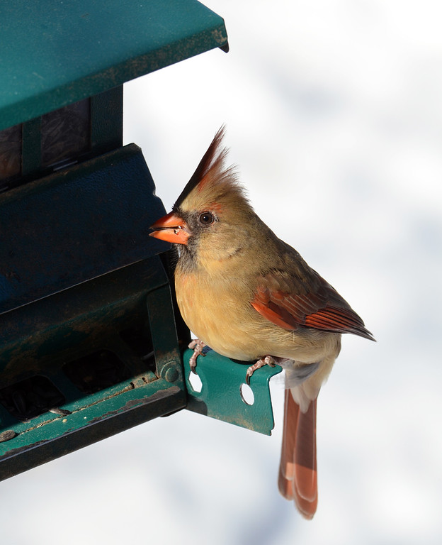 . A cardinal  visits a feeder at the bird blind at the Peace Valley Nature Center in New Britain Township.    Wednesday, January 29, 2014.    Photo by Geoff Patton