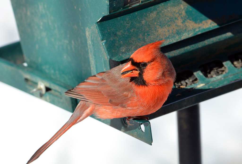 . A cardinal  visits a feeder at the bird blind at Peace Valley Nature Center in New Britain Township.    Wednesday, January 29, 2014.    Photo by Geoff Patton